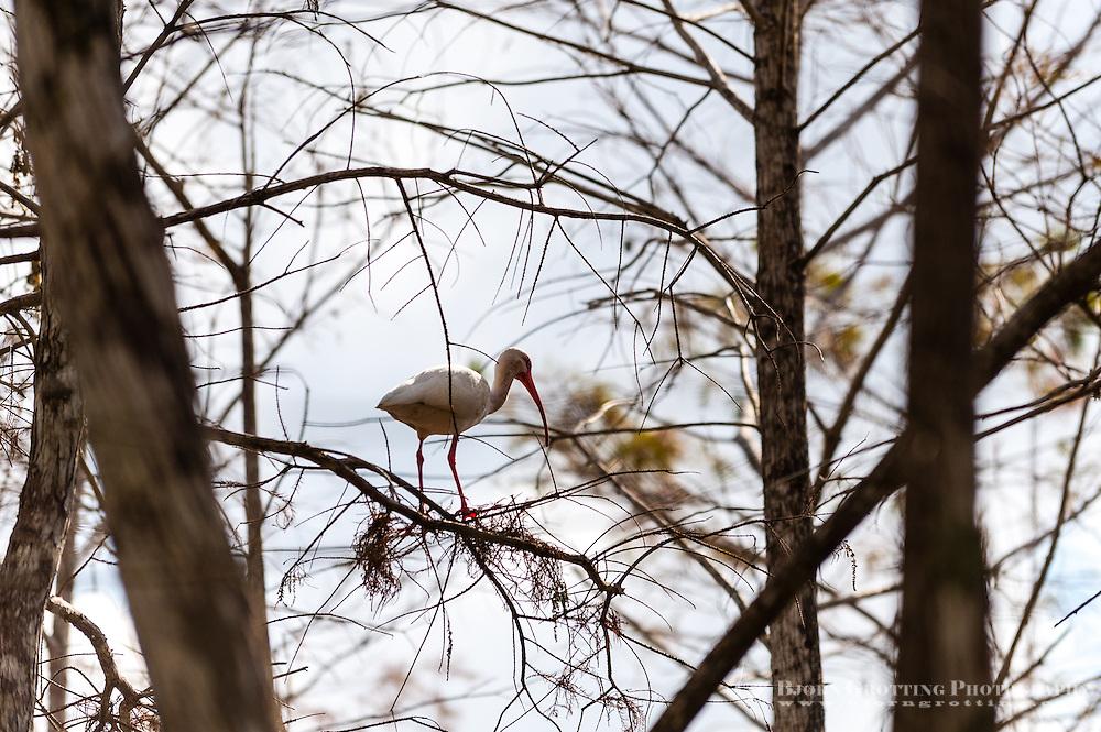 US, Florida, Everglades. Cypress swamp. American White Ibis.