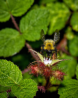 Bumblebee working a wild blackberry flower. Late-spring backyard nature in New Jersey. Image taken with a Nikon D2xs camera and 105 mm f/2.8 VR macro lens  (ISO 100, 105 mm, f/11, 1/60 sec)