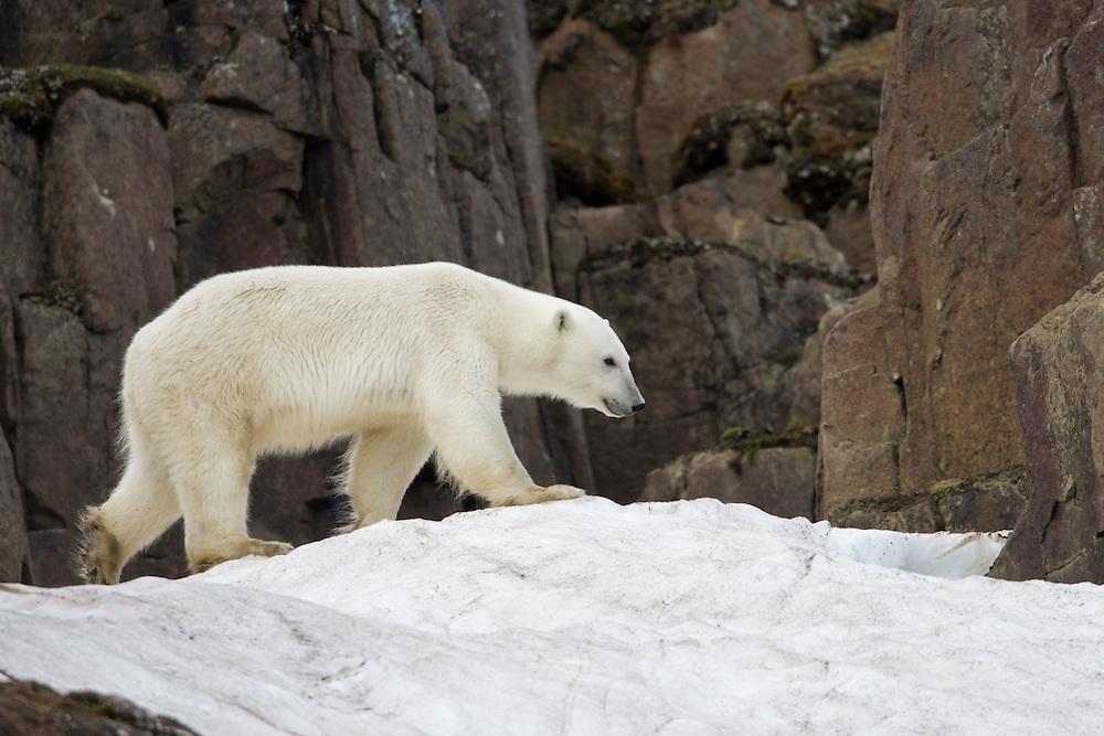 Norway, Svalbard, Langøya Island, Polar Bear (Ursus maritimus) walking on snow slope on basalt cliffs on summer afternoon