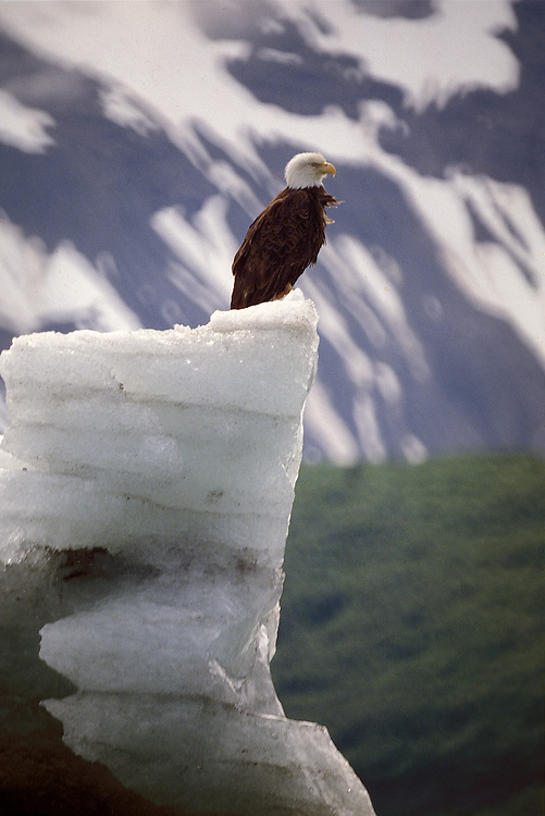 Mature Bald Eagle on iceberg in Glacier Bay National Park and Reserve - Haliaeetus leucocphalus