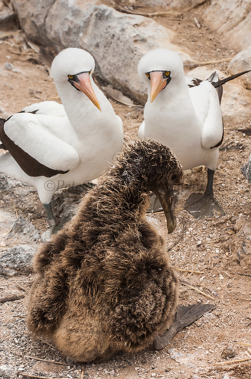 Waved Albatross (Phoebastria irrorata) Chick being harrassed by Nazca boobies, (formerly Masked booby) (Sula granti)<br /> Punta Cevallos, Espa&ntilde;ola Island, GALAPAGOS ISLANDS<br /> ECUADOR.  South America<br /> ENDEMIC TO GALAPAGOS. <br /> CRITICALLY ENDANGERED<br /> However a few pairs nest on Isla de la Plata near the Ecuadorian mainland. +-12,000 pairs breed on the Island of Espa&ntilde;ola in Galapagos. They only come ashore between April and December to breed, otherwise they spend their entire life at sea. Once an albatross chick fledges and goes to sea it will remain there until it is 4 years old before returning to land to breed for the first time. Albatross mate for life and live about 40 years. They form part of the family of tube-nosed birds.