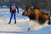 Bruce Gard, a 40 K racer,  watches as a moose bursts onto the Tony Knowles Coastal Trail during the 25th annual Tour of Anchorage.