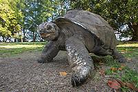 Aldabra Giant Tortoise, D'Arros Island and St Joseph Atoll, Amirantees, Seychelles,