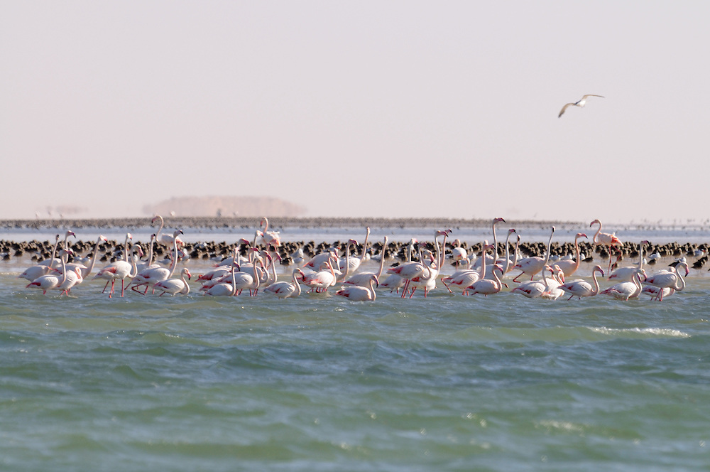 Huge flocks of Pelicans,Flamingos and Cormorans in the world heritage sight Banc d´Arguin, Western Africa, Mauretania, Africa