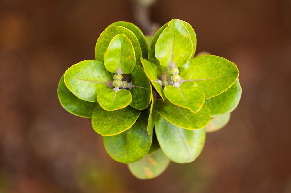Leaves of the endemic ohia lehua (Metrosideros polymorpha) along the Pihea Trail, Kokee State Park, Kauai, Hawaii.