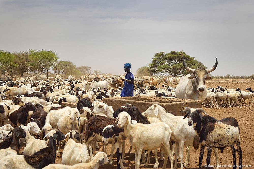 Eine Viehtränke in THIARGNY, Senegal.