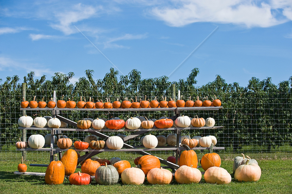Heirloom pumpkins and squash on a farm in The Hamptons