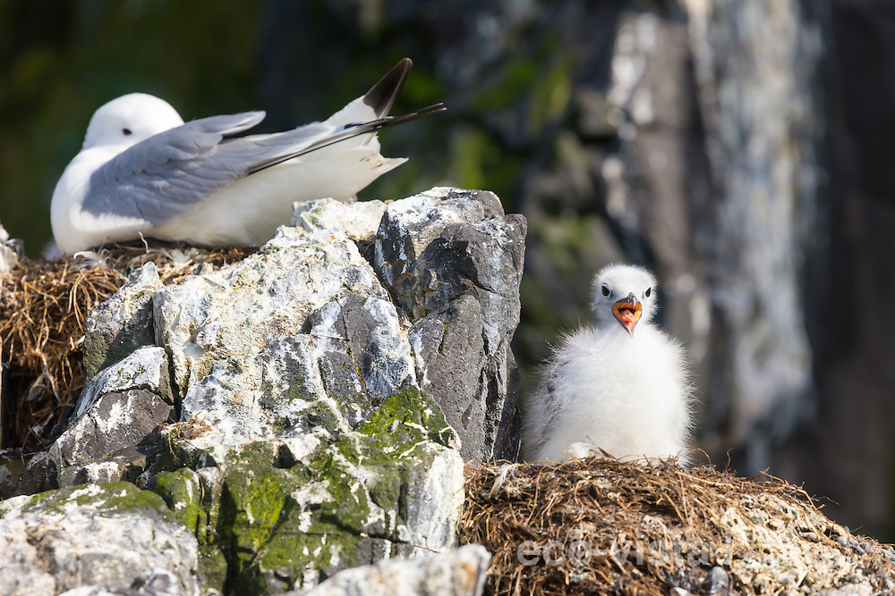 A single black-legged kittiwake (Rissa tridactyla) chick stands on the nest alone, panting in the warmth of the sun. An adult sits on an empty nest in the background. To be left at this early stage is not a good sign, and perhaps an indicator that food is limited this breeding season, with both adults being at sea looking for food. Flatey, West Fjords, Iceland. July.