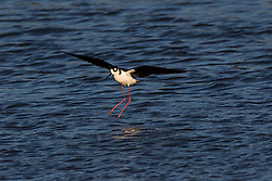 Black-necked Stilt, Himantopus mexicanus, Palo Alto Baylands, Palo Alto, California, United States of America