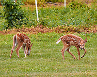 Pair of fawns with spots. Backyard summer nature in New Jersey. Image taken with a Nikon 1 V3 camera and 70-300 mm VR telephoto zoom lens (ISO 800, 183 mm, f/5.6, 1/200 sec).
