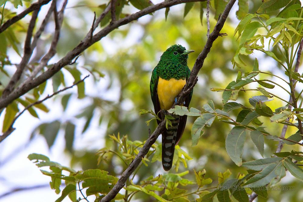 African Emerald Cuckoo, Chrysococcyx cupreus, Mbona Estate, South Africa, by Adam Riley