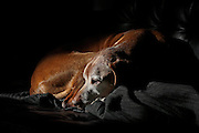 SHOT 3/21/14 10:37:14 AM - Tanner, a twelve and a half year old male Vizsla, basks in the afternoon sun while lounging on the couch at his home in Denver, Co. The Vizsla is a dog breed originating in Hungary, which belongs under the FCI group 7. The Hungarian or Magyar Vizsla are sporting dogs and loyal companions, in addition to being the smallest of the all-round pointer-retriever breeds. (Photo by Marc Piscotty / © 2017)