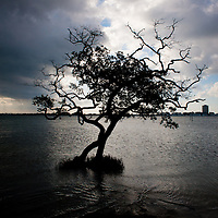 SARASOTA, FL -- October 2012 -- A lone tree sits in the shallows off Ken Thompson Park on City Island in Sarasota, Florida.  (PHOTO / CHIP LITHERLAND)