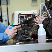 Examination cat (Felis Catus) by veterinarian. France