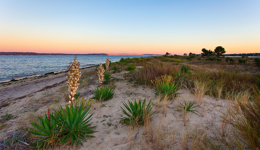 La conche du Mimbeau au Cap Ferret est une langue de sable sur laquelle s'est installée une végétation sauvage et invasive (notamment des yuccas) . Au loin la Dune du Pilat devient rose au coucher diu soleil. Bassin d'Arcachon