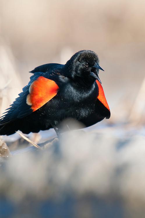 Red-winged Blackbird, Agelaius phoeniceus, male, Shiawassee River, Saginaw County, Michigan
