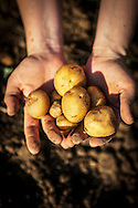Person Holding Potatoes In Hands, Croatia, Slovania, Europe