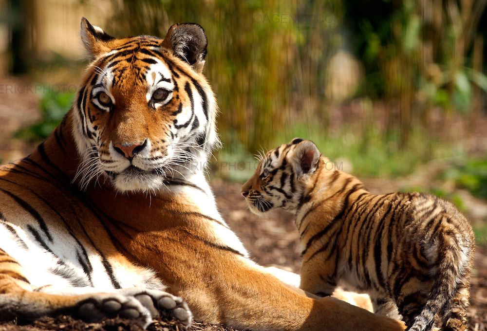 Three rare tiger cubs have been named after a two-month wait to determine their sex.. .Bosses at the Highland Wildlife Park discovered yesterday (SUN) that Amur tiger Sasha had given birth to one boy and two girls...Visitors have been flocking to see Vladimir, Natalia and Dominika at their home in Kingussie, near Aviemore, since they were revealed to the public last month...Picture shows Sasha with one of her cubs at the Highland Wildlife Park..
