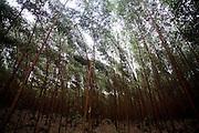 Carmesia_MG, Brasil...Plantacao de eucalipto em Carmesia, Minas Gerais...Eucalyptus plantation in Carmesia, Minas Gerais...Foto: LEO DRUMOND / NITRO