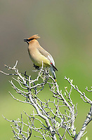 Cedar Waxwing (Bombycilla cedrorum) , Inglewood Bird Sanctuary, Calgary, Alberta, Canada   Photo: Peter Llewellyn