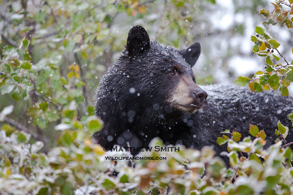 A Black Bear in a tree looking for berries in a snowfall