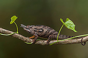 Lesser chameleon (Furcifer minor) MALE. This species inhabits open areas, which even include crop fields. However its distribution is restricted to the southern highlands, Ambohijanahary Special Reserve in the west and in the central highlands from north of Ambositra to south of Fianarantsoa. MADAGASCAR.<br /> A medium sized chameleon of the Furcifer bifidus group that may reach a length of 20cm. They have a flat helmet and large but not parallel nasal appendages. Males are brownish grey with darker vertical bands. Two bright spots are always present on the anterior part of flanks. Females are green with two light spots more or less distinct.<br /> There are more than 150 species world wide and over half of those are only found in Madagascar. All species on the island are Native.<br /> Chameleons are well-known for their special adaptions: The ability to change color rapidly to either match their surroundings or to reflect their mood. They have the capacity to move their turreted eyes independently of each other which allows them to look in different directions simultaneously. They have independent 360 degree vision except when hunting they use binocular vison to estimate the distance of the prey. They capture their prey with the rapid firing of their tongue which can extend to approximately half of their body length and is ended with a kind of gluing hammer. All species found in Madagascar lay eggs (Oviparous) and do not give parental care. The calumma and furcifer group are known as true chameleons as they have a prehensile tails. They tend to be solitary except during the breeding season. <br /> Calumma minor is CITES 11 classification and needs an export permit to be exported from Madagascar <br /> ENDEMIC TO MADAGASCAR