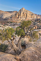 Pectols Pyramid with Juniper tree (Juniperus osteosperma) Capitol Reef National Park Utah