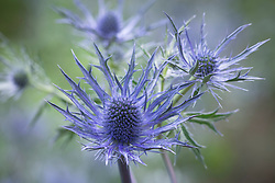 Eryngium × zabelii 'Violetta'. Sea holly