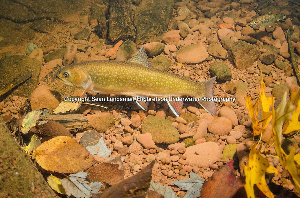 Brook Trout (Spawning Female)<br /> <br /> Sean Landsman/Engbretson Underwater Photography