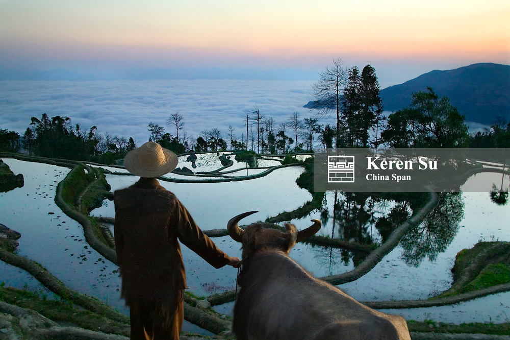 Famer and water buffalo with water filled rice terraces in mist at sunrise in the mountain, Yuanyang, Yunnan Province, China