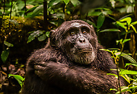"An alpha male chimpanzee, Kibale Forest National Park, Uganda. The chimp had been orphaned and was raised by other dominant males.                                                  Known as ""The Primate Capital of the World"" Kibale has the largest number of primates of any national park in the world."