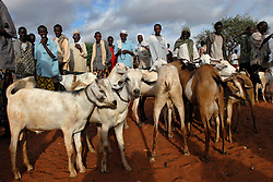 Livestock traders take their animals to a local market May 12, 2006 in Wajir, Kenya. Most pastoralists lost nearly 90 percent of their animals in the ongoing drought and the animals that did survive are getting about half of the normal market rate. During the past decade, the frequency of drought has been increasing with shorter recovery periods, having an intense impact on the pastpralists who are among the regions most vulnerable population. Of the more than 8 million people in need of humanitarian assistance in the Horn of Africa, 1.6 million are children below the age of five years, threatened mainly by malnutrition. The loss of the animals, prime sources of meat and milk and the main financial assets of the pastoralists,  has created a spiralling cycle of poverty and insecurity. (Ami Vitale)