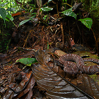 Ecuadorian Toadheaded Pitviper (Bothrocophias campbelli)