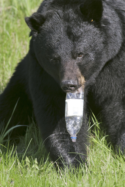 Black Bear with plastic bottle,  Ursus americanus