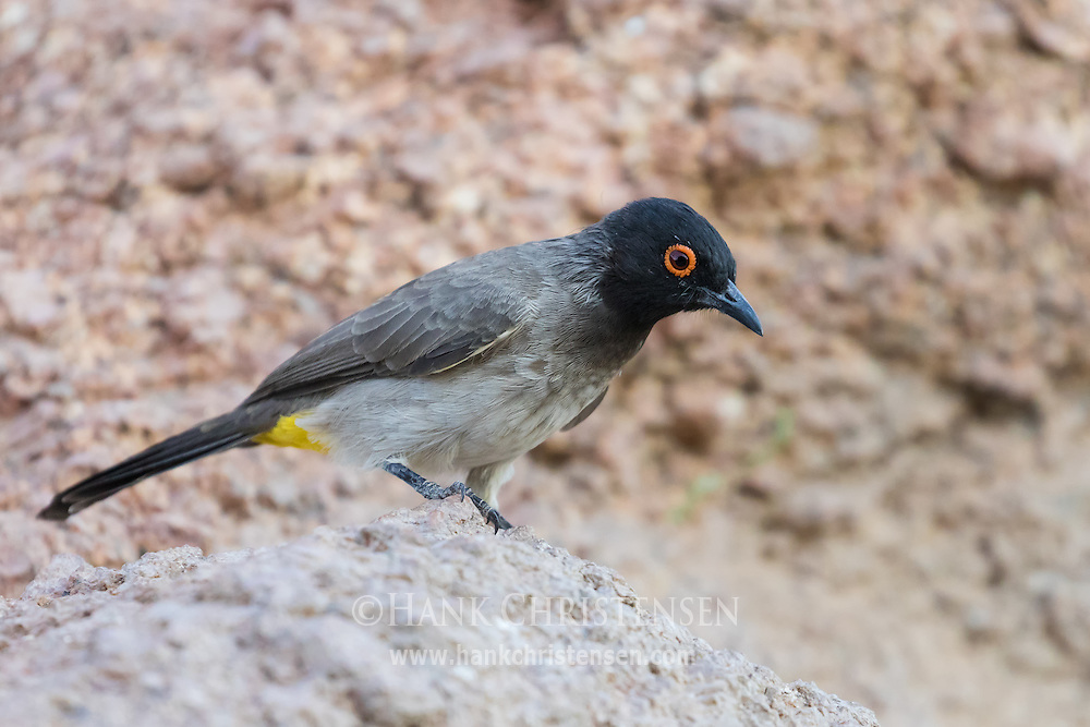 A redeyed bulbul stands on granite, Damaraland, Namibia.