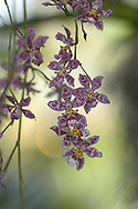 Orchid &amp;#xD;&copy; KIKE CALVO - V&amp;W&amp;#xD;( flower colorful plant garden spring tropical plant ornamental orchidaceae bloom blossom bouquet petal floral beautiful inspiring nature botanical<br />
