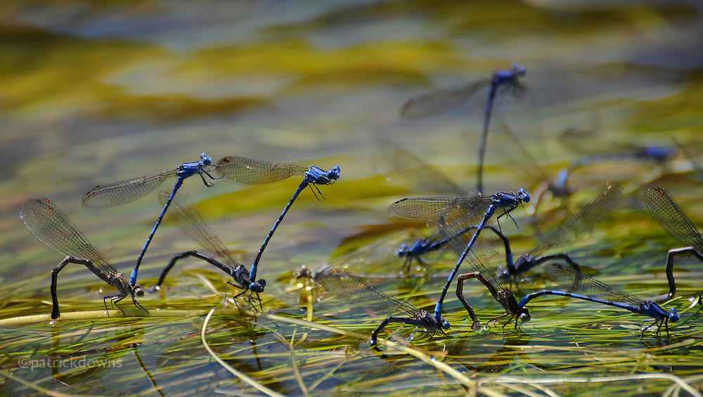 """Blue damselflies (cousins of the dragonfly) mate """"en masse"""" in a stream in Yellowstone Park. The males, hovering above, fertilize the females while in tandem position perched above and clasped to the females. The females arch their bodies and lay the now-fertilized eggs into the water plants, using their sharp ovipositors to cut open the plants and attach the eggs. Sometimes they just drop the eggs into the water, where they will hatch and become larvae. [http://www.brisbaneinsects.com/brisbane_insects/Mating.htm]"""