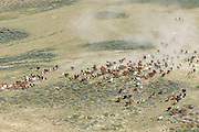 Large herd of wild mustangs in Wyoming