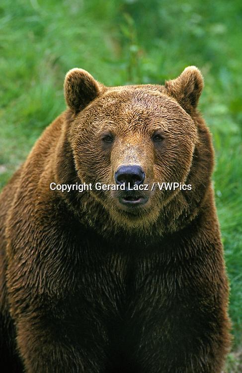 Brown Bear, ursus arctos, Portrait of Adult
