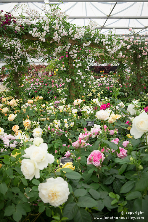 The David Austin Roses stand in the Great Pavillion, RHS Chelsea Flower Show 2017