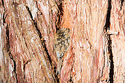 Treecreeper resting in the bark of a Sequioa tree at the Aigas Field Centre. In horizontal format.