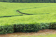 Path through tea  plantation crop  in tropical Far North Queensland, Australia