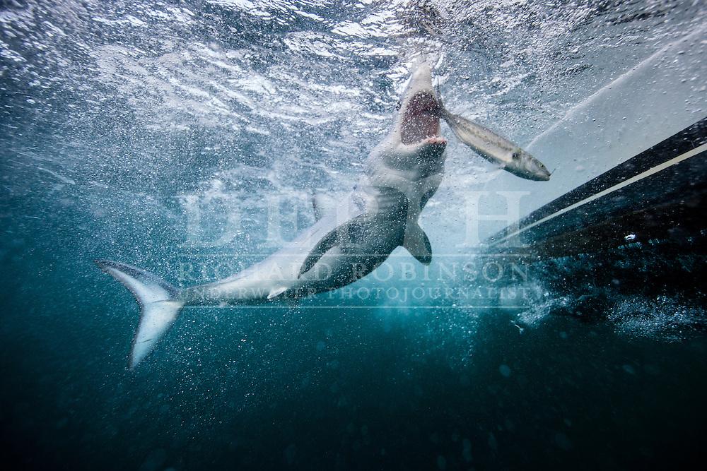 Isurus oxyrinchus (Mako Shark) in the Hauraki Gulf, New Zealand.<br /> May 2015<br /> Photograph Richard Robinson &copy; 2015.