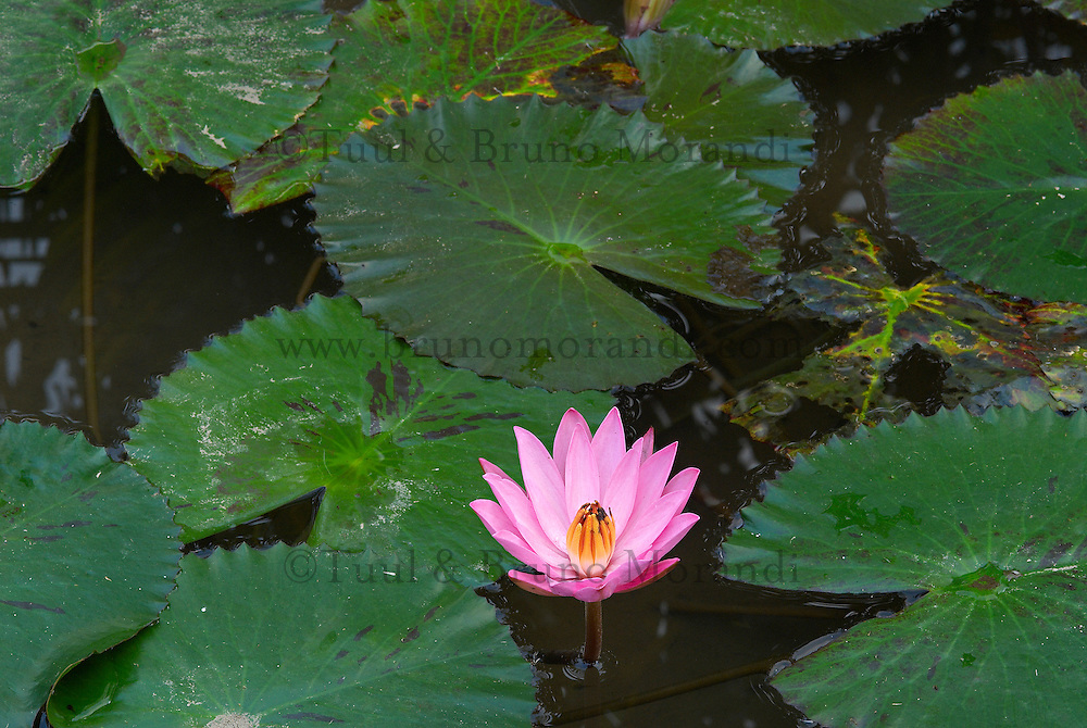 Indonesie. Bali. Fleur de lotus. // Indonesia. Bali. Lotus flower.