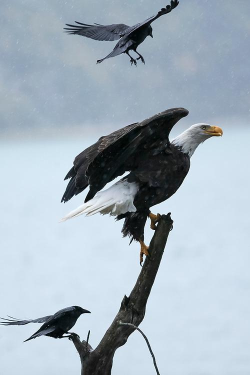 Bald eagle swooped by raven (Haliaeetus leucocephalus), Alaska, Chilkoot River, near Haines, Taken 10.13