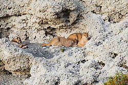A female puma (Puma con color) also known as a mountain lion or cougar, nursing her cubs on stromolite rock, Torres del Paine, Chile, South America