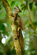 Plumed basilisk (Basiliscus plumifrons) or Jesus Christ lizard, because of its ability to run short distances across water without sinking, in Manuel Antonio National Park, Costa Rica.