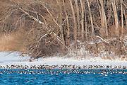 Canvasbacks, Aythya valisineria & Canade Geese, Branta Candensis, Detroit River, Ontario, Canada