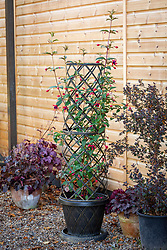 Plant support trellis for climbing fuchsia
