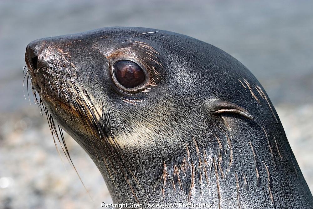 Antarctic Fur Seal.Arctocephalus gazella.Stromness, South Georgia.1 January 2004